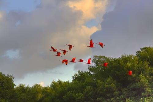 Scarlet Flying