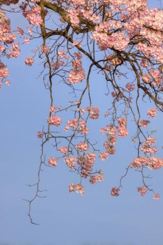Poui Blossoms