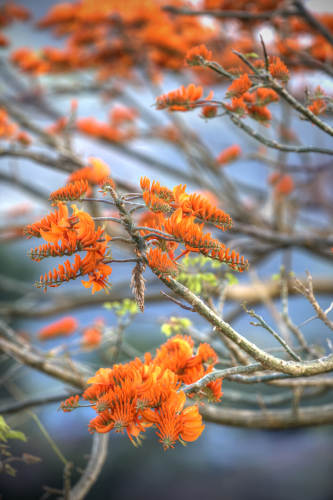 Immortelle Tree