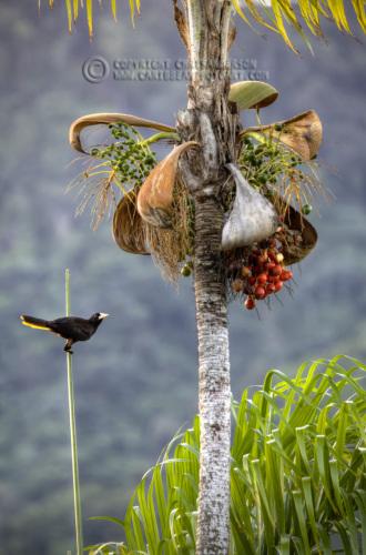 Corn Bird 1