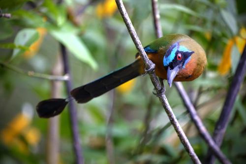 Mot Mot Bird Tobago