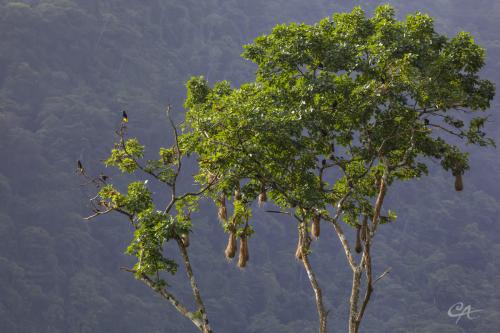 Cornbird Nesting Tree
