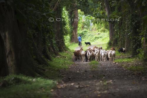 Goats Tobago