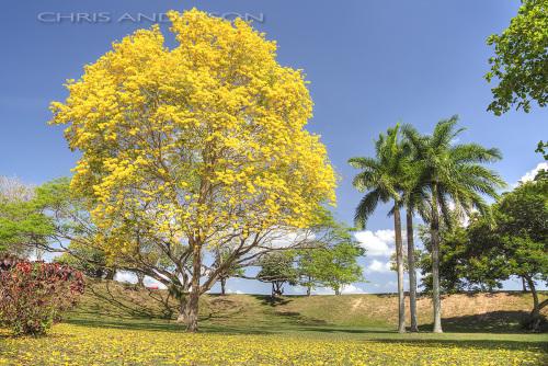 Yellow Poui1