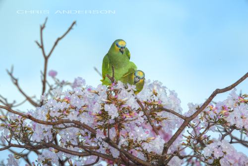 Parrot love 4