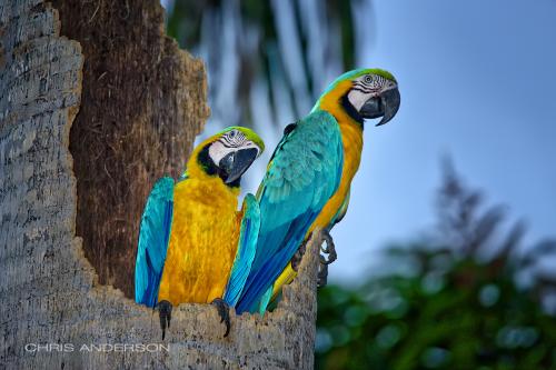 Macaws Sobo