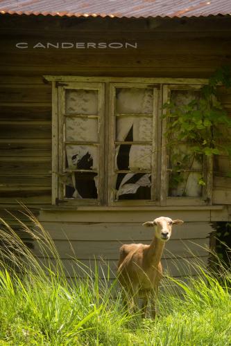 Sheep in Grass