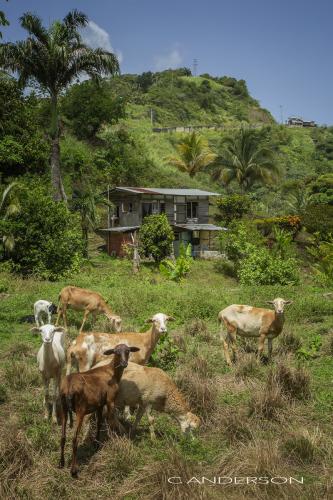 Sheep Tobago