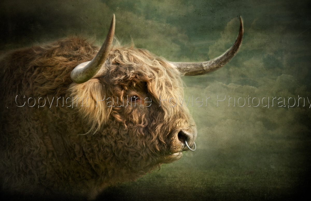 Portrait of a Highland Bull (large view)