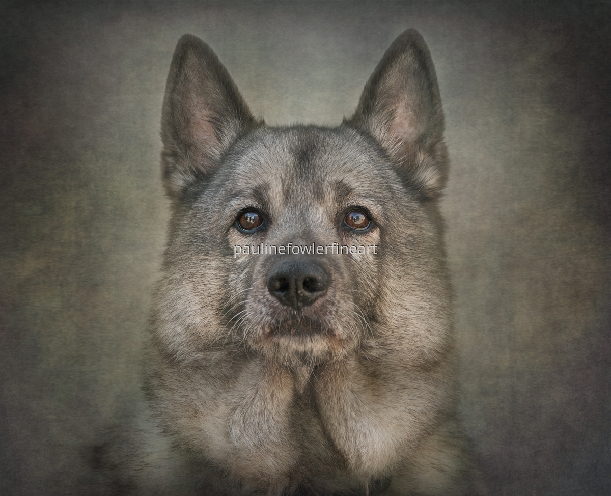 Norwegian Elkhound (large view)