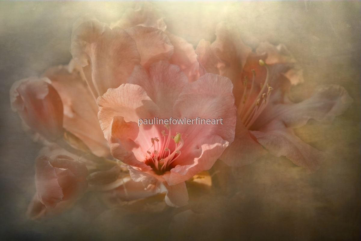Pink Rhododendron (large view)