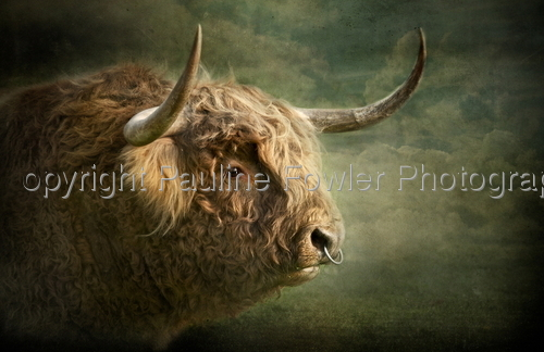 Portrait of a Highland Bull by Pauline Fowler Photography
