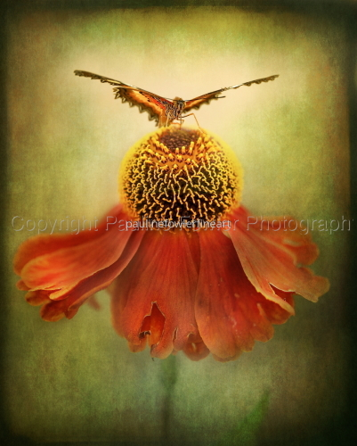 Butterfly and dancing Coneflower