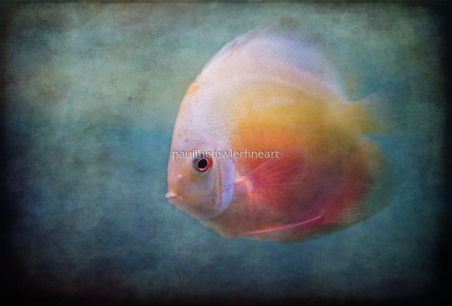 Beautiful Discus by Pauline Fowler Photography