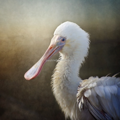 Spoonbill by Pauline Fowler Photography