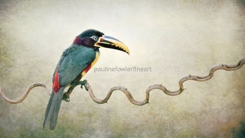 Aracari on a Vine