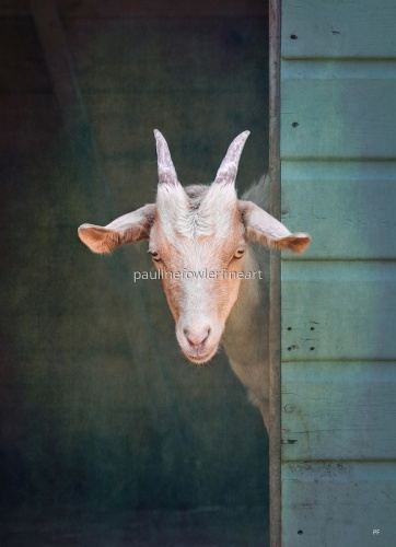 The curious Goat by Pauline Fowler Photography