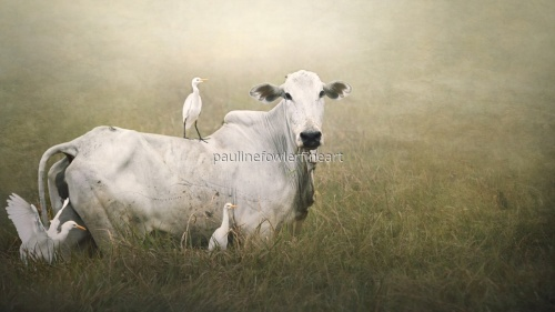 Cow and Egrets.