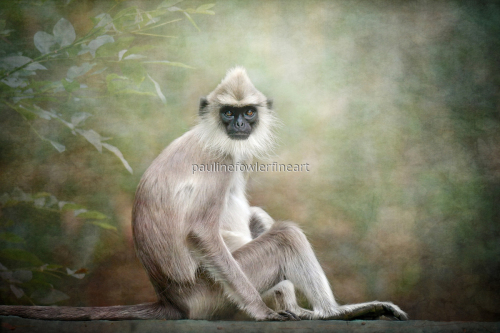 Grey Langur by Pauline Fowler Photography