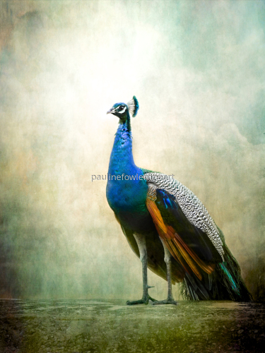 Peacock by Pauline Fowler Photography
