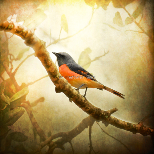 Orange Minivet by Pauline Fowler Photography