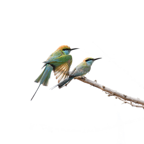 Bee Eaters by Pauline Fowler Photography