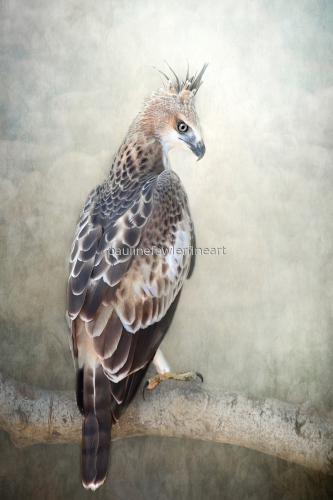 Changeable Eagle Hawk