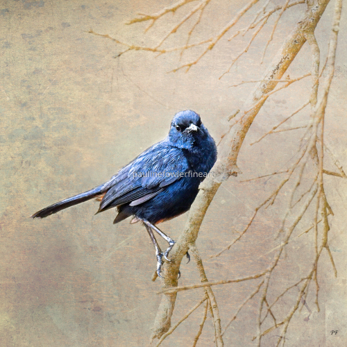Blue Bird by Pauline Fowler Photography