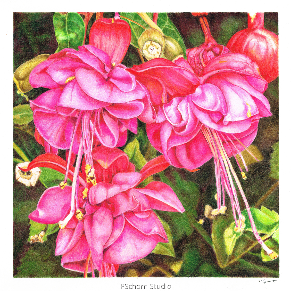 Double Blooming Fuchsia (large view)