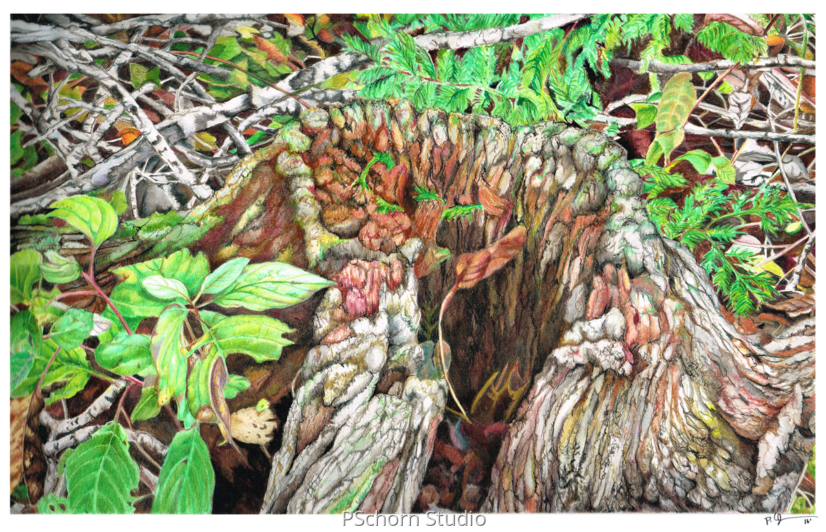 Botanical Colored pencil Drawings: Tree Stump by P Schorn Studio