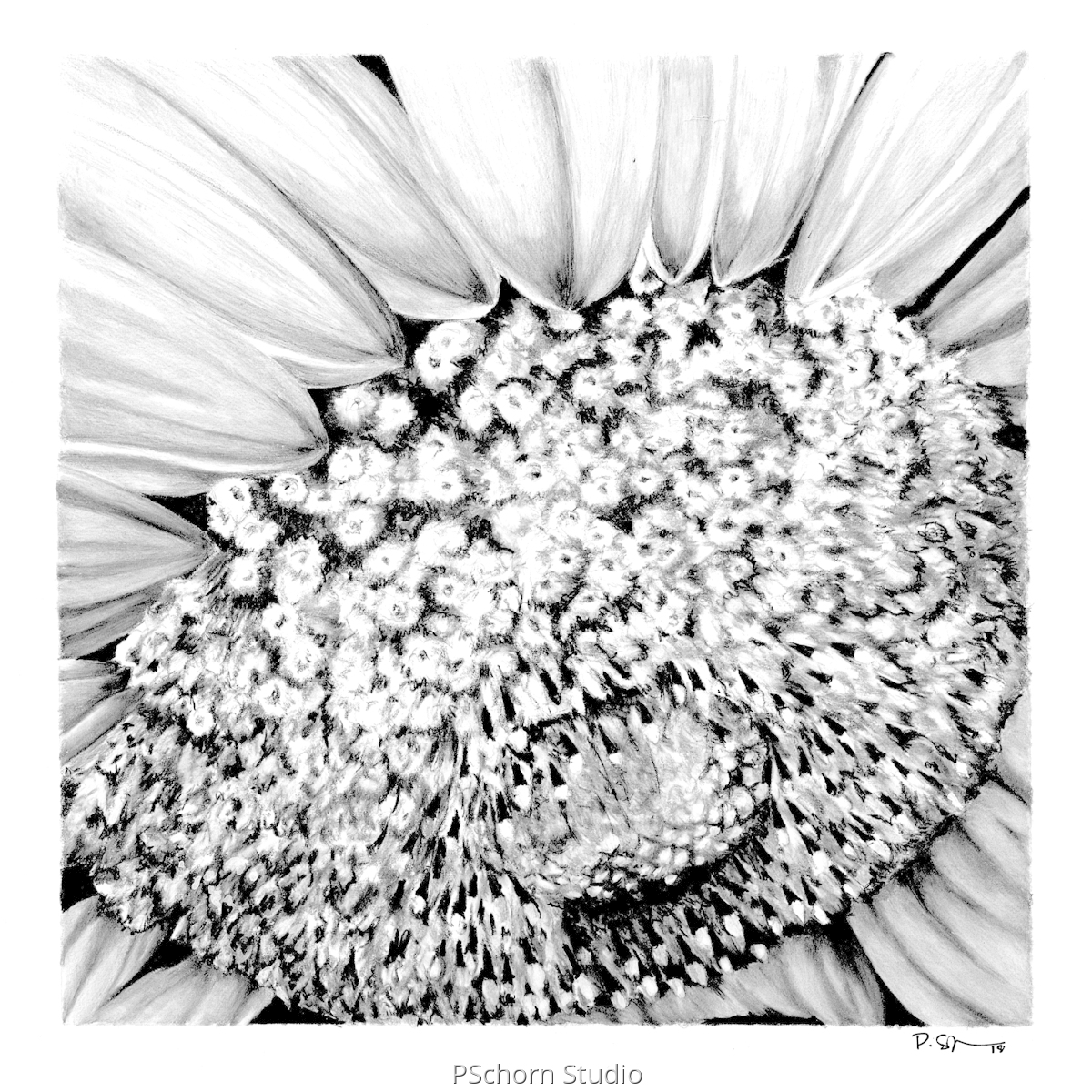 Sunflower No5 (large view)