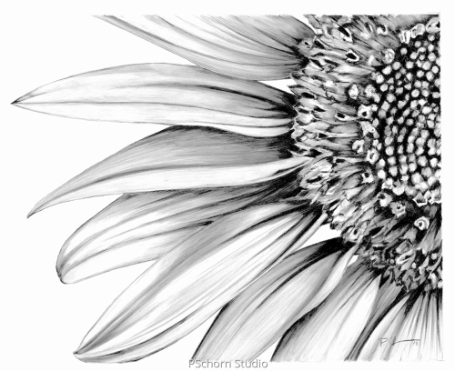 B/W Sunflower (large view)