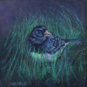 Dark Eyed Junco (thumbnail)