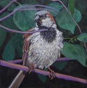Male Sparrow (thumbnail)