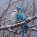 Bluejay in a Snowstorm (thumbnail)