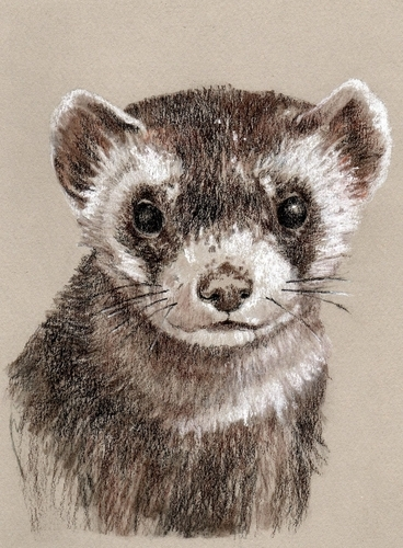 Charly Ferret (large view)