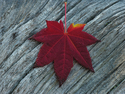 Vine Maple Leaf on Log 0052