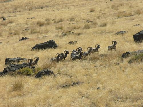 Big Horn Rams - Hart Mtn Antelope Refuge 3243