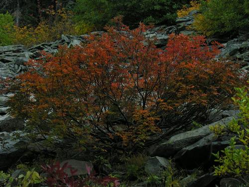 Autumn Sumac 9700