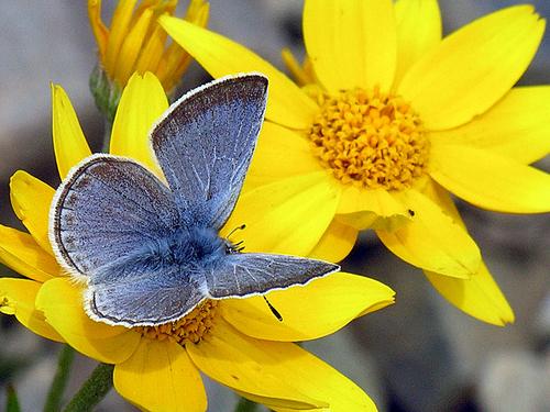 Blue on Arnica