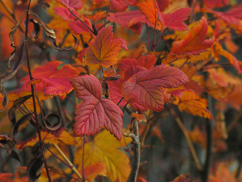 Wild Currant Autumn Color