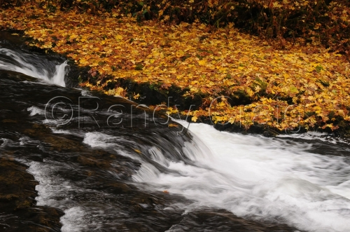 Stream & Golden Leaves_5718_110212