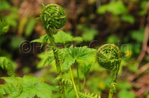 Ferns unfurling_4890_060113