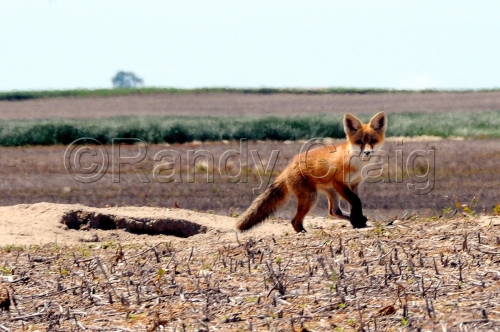 Red Fox_9248_072013