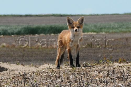 Red Fox_9254_072013