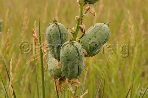 Yucca Seed Pods_0496_072313