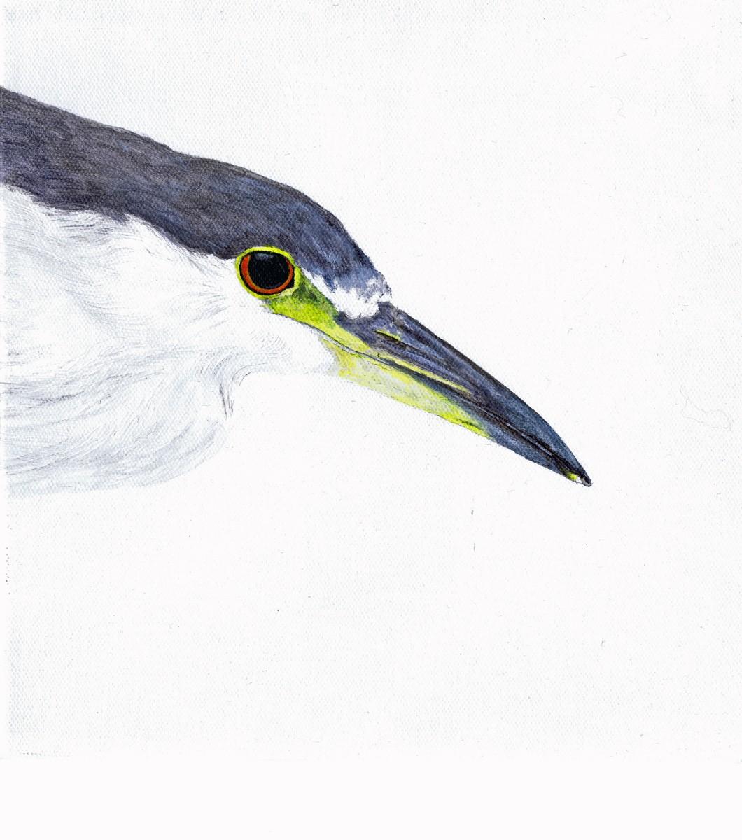 Black-crowned Night-Heron (large view)