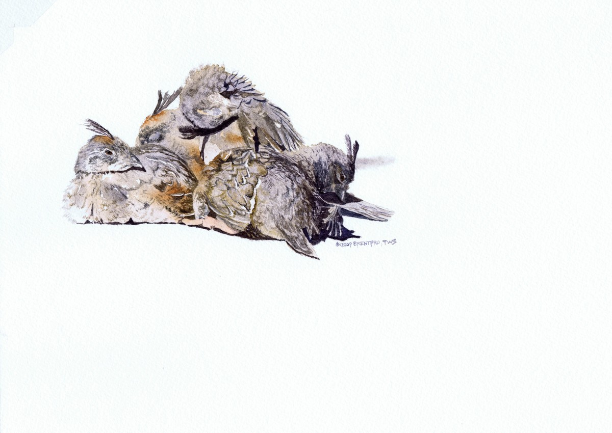 Sunbathers - Gambel's Quail Chicks (large view)