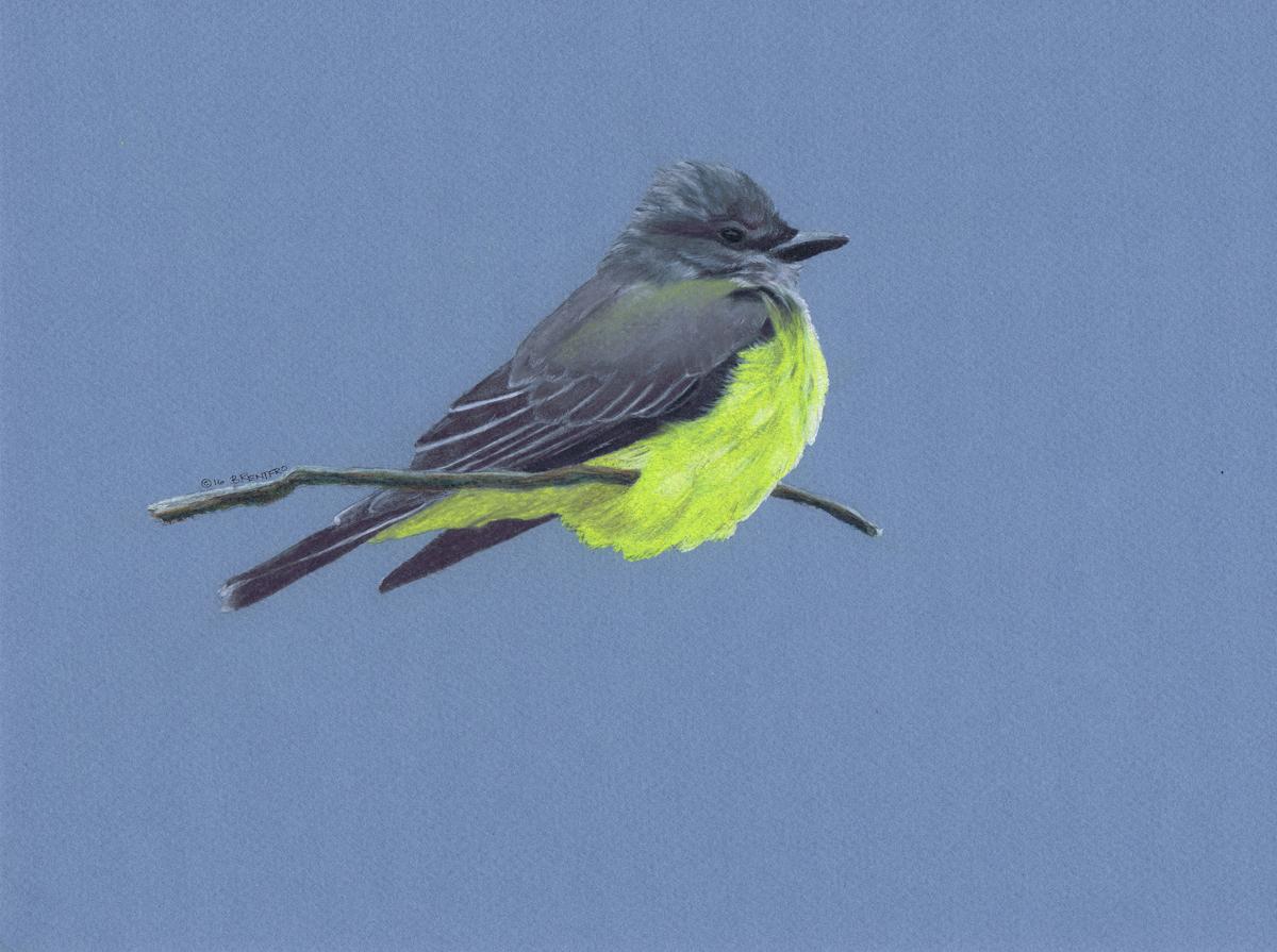 Western Kingbird (large view)