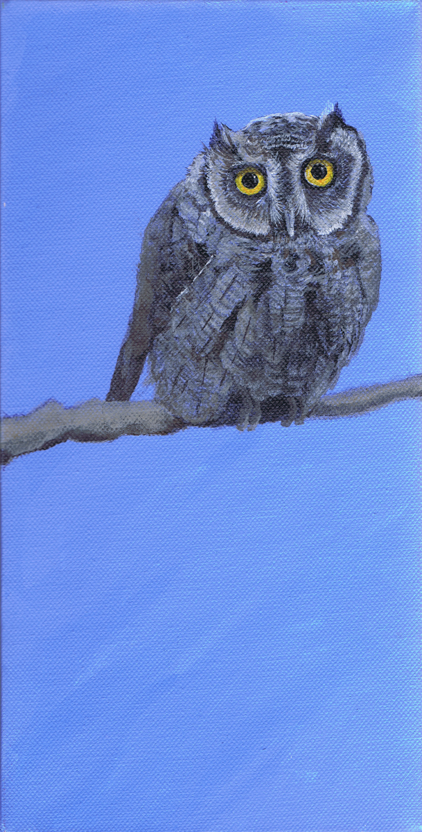 Western Screech Owlet (large view)